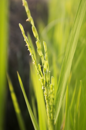enlarge: Image of paddy enlarge a spike rice