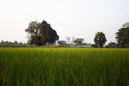 Cottage in the rice field  photo