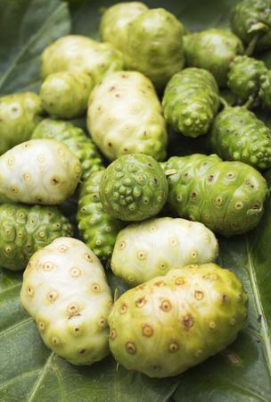 morinda: Great morinda on mulberry leaves.
