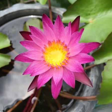 close: Close up of lotus in plastic pot.