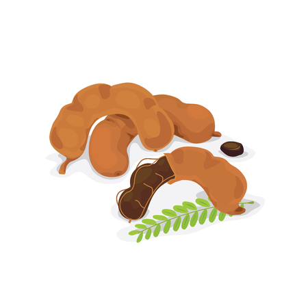 Vector of fresh tamarind pod and seed.