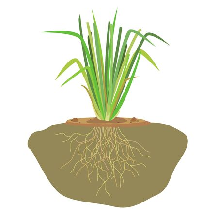 Vector of vetiver grass roots and soil.
