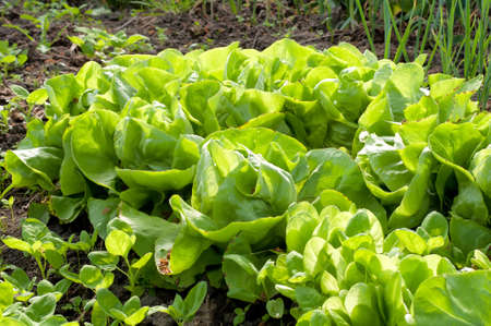 Fresh green lettuce sallad in the garden Stock Photo