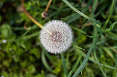 White dandelion in the grass with green background 版權商用圖片