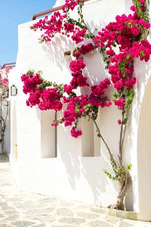 Red bougainvillea on a white wall in Greece Фото со стока