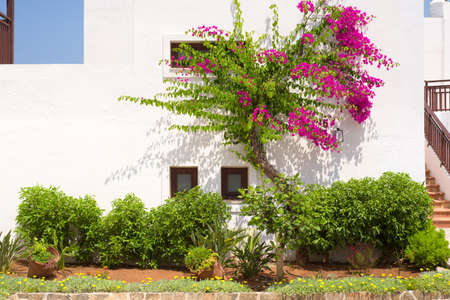 Pink bougainvillea on a white wall in Greece Фото со стока
