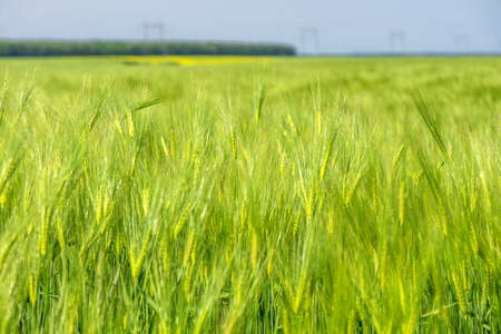Close up of a green wheat field Stock fotó - 131605619
