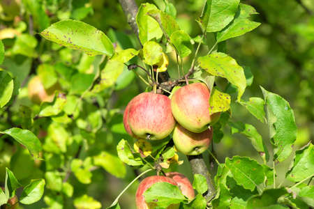 Apple fruits hangining on an apple tree branch Banque d'images