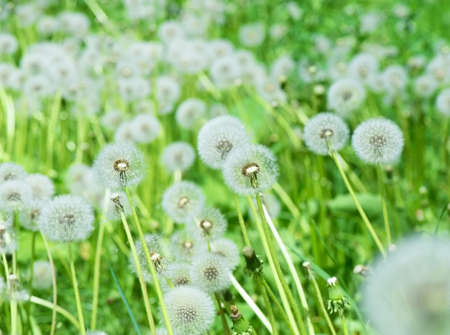 Dandelion fluffs in green grass outdoors, background picture