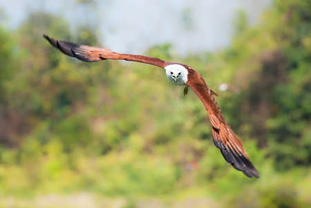 bird eating raptors: Brahminy kite flying over the water at high speed