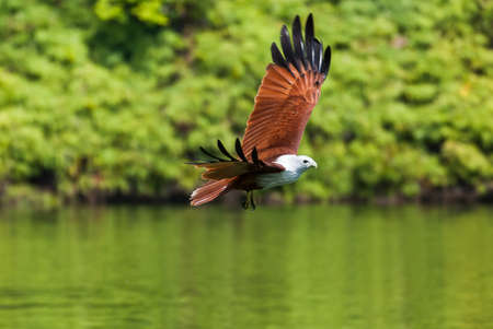 bird eating raptors: Brahminy kite flying over the water at high speed