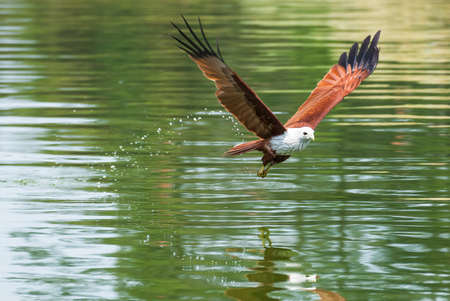 Brahminy kite flying over the water at high speed