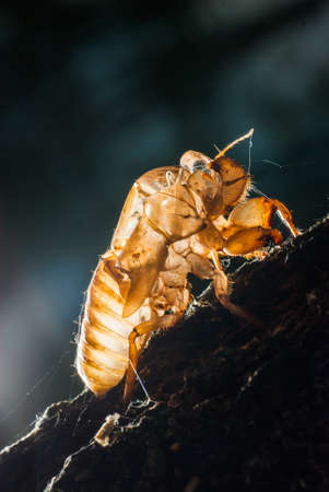 Close up cicada shell which leave on the tree, dark