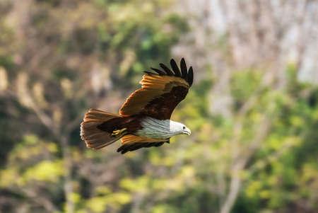 Brahminy kite flying at high speed
