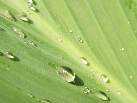 gotas de agua: Raindrops on a leaf.