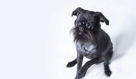 Black Dog. The Belgian Griffon