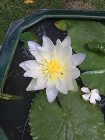 white lotus flower: White lotus flower in a water pot.
