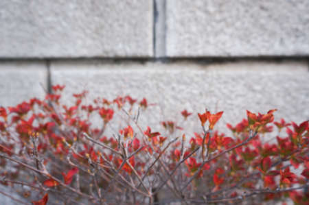 Blurred images of branches with red leaves in front of a brick wall.