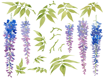 Collection of painted watercolor floral elements, blooming wisteria with leaves, isolated on white background. Stock Photo
