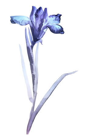 gohua: Ink illustration of flower iris. Sumi-e, u-sin, gohua painting style, colored with blue and violet colors. Silhouette made up of brush strokes isolated on white background.