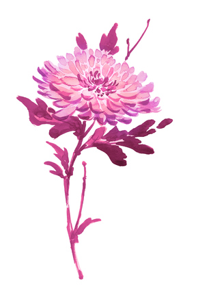 Ink illustration of blooming flower, chrysanthemum. Sumi-e, u-sin, gohua painting style, colored in pink and purple colors. Silhouette made up of brush strokes isolated on white background.