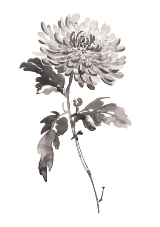 Ink illustration of chrysanthemum in bloom. Sumi-e, u-sin, gohua painting style. Silhouette made up of black brush strokes isolated on white background. Ilustração