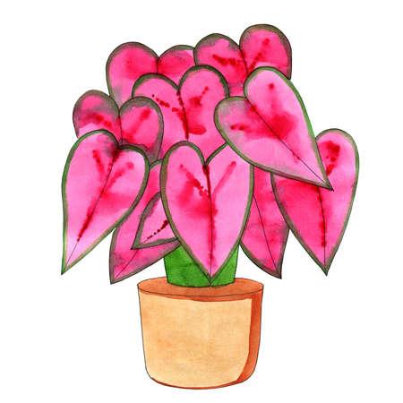 Fresh flowers for interior decoration in pots pink lilac red burgundy violet. Set watercolor illustration. Kaladium hort Stock Photo