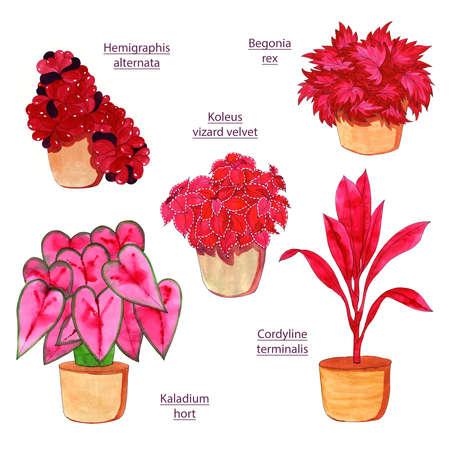Fresh flowers for interior decoration in pots pink lilac red burgundy violet. Set watercolor illustration. Hemigraphis alternata, Cordyline terminalis, Begonia rex, Koleus vizard velvet, Kaladium