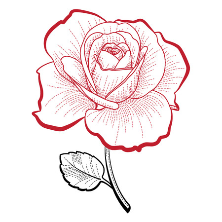 Illustration of a hand drawing rose for print and design