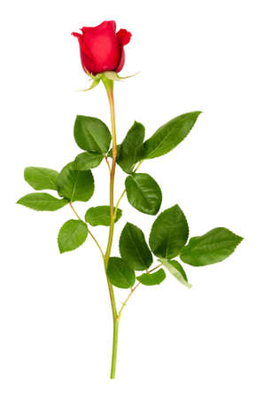 Red rose isolated on a white background photo
