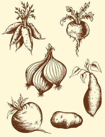 camote: Conjunto de vectores de la vendimia raíces dibujados a mano