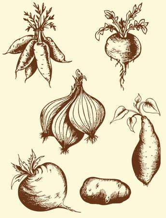 rzepa: Zestaw wektora starych korzeni rysowane ręcznie Ilustracja