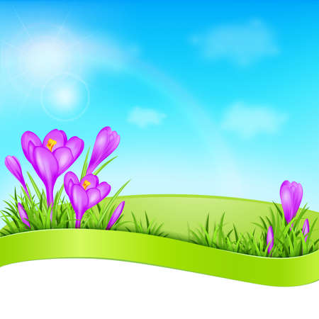 crocus: Spring background with violet crocus and green grass. Vector illustration. Illustration