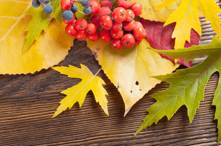 Autumn background with yellow leaves and rowan berries. Stock Photo