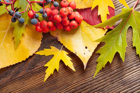 Autumn background with falling yellow leaves and rowan berries.