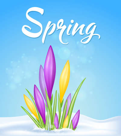 Blue spring background with yellow and violet crocuses in snow. Vector illustration. Illustration
