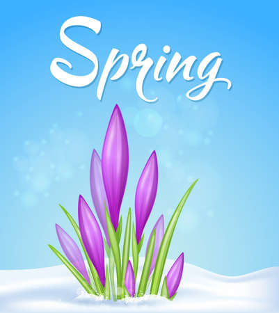 Blue spring background with violet crocus in snow. Vector illustration.