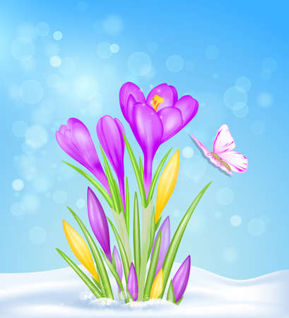 Purple and yellow crocus flowers in the snow. Spring floral background. Vector illustration.