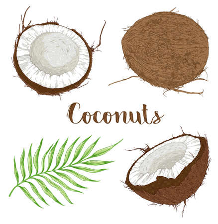 Set of hand drawn coconuts and palm leaf on a white background. Vector illustration
