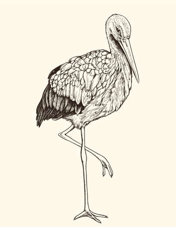 Hand drawn vector illustration of white stork. Vintage sketch of animal in the wild nature  Иллюстрация