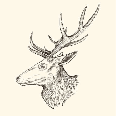Hand drawn vector illustration of deer. Vintage sketch of animal in the wild nature