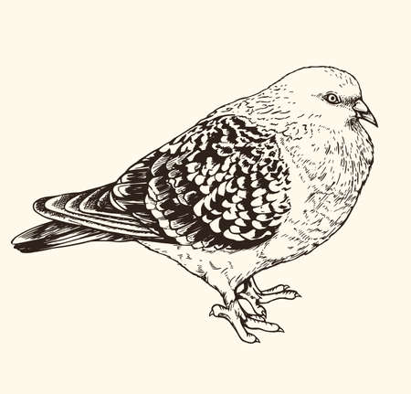 Hand drawn vector illustration of urban pigeon. Vintage sketch of animal in the wild nature  Иллюстрация