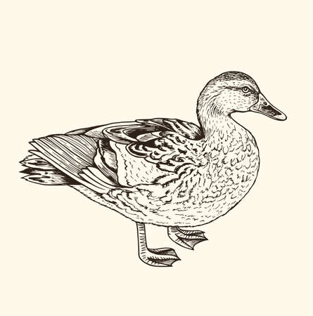 Hand drawn vector illustration of duck. Vintage sketch of animal in the wild nature