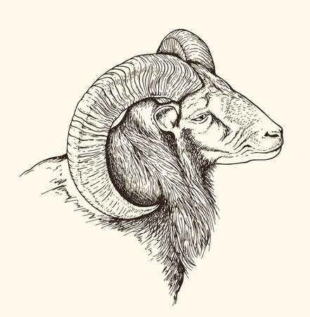 Hand drawn vector illustration of mountain bighorn sheep. Vintage sketch of animal in the wild nature