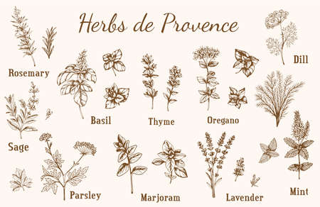Set of vintage vector hand drawn Provencal spices and herbs.