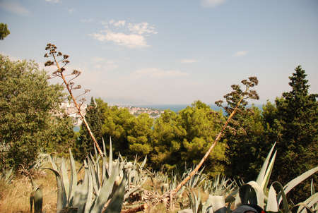 cactus species: Beautiful image shot near Adriatic sea in Croatia, cactus and different other species of vegetation