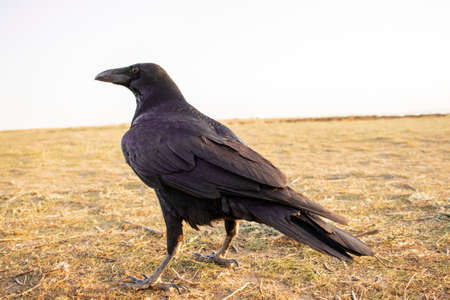 Black carrion crow and black raven, stands on the ground and looks, photo. Crow, bird and animal 免版税图像