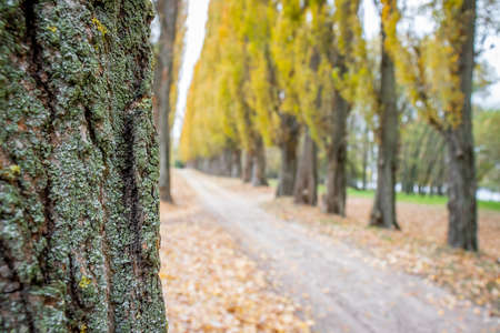 Poplar tree trunk on the background of trail in the park. Tree trunk in autumn forest and fallen leaves Imagens