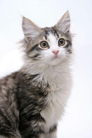 catfood: Gatto su priorit� bassa bianca Archivio Fotografico