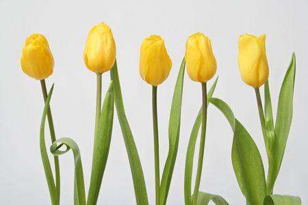 donative: Row tulip on white background Stock Photo